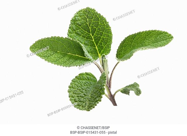 Top view - bundle of sage leaves on white background