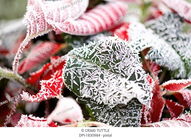 Winter frost on poinsettia leaves