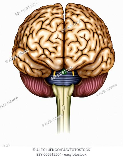 Illustration of brain front view he can see the brain stem, optic nerve, olfactory nerve, cerebellum and brain stem bridge