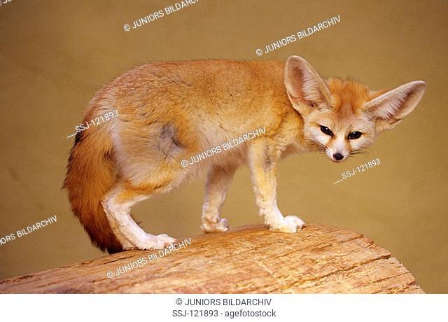 fennec fox - standing / Fennecus zerda