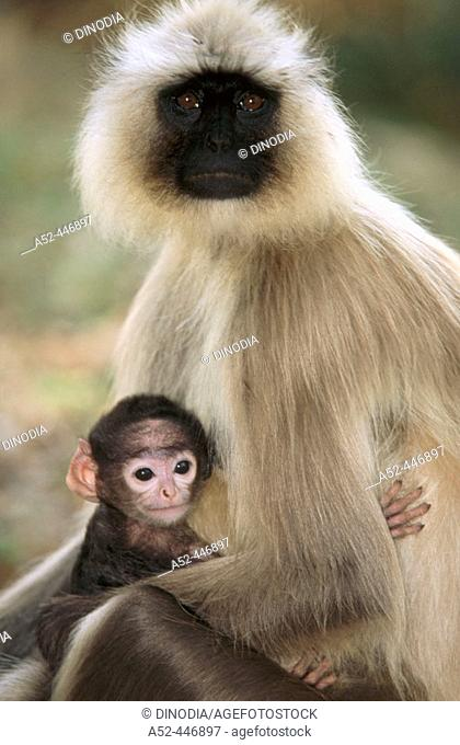Common langur (Presbytis entellus) with young one, Kanha National Park. Madhya Pradesh, India