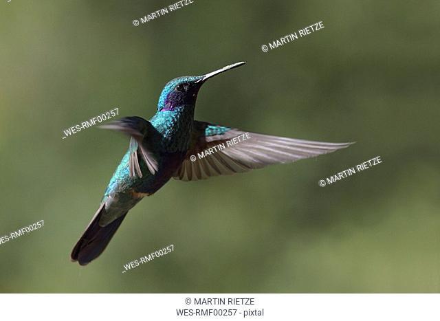 Ecuador, Hacienda Manteles, Hummingbird Trochilidae , close up
