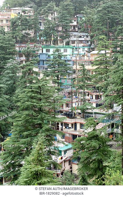 Houses and trees, cedar trees, Upper Dharamsala, McLeod Ganj, Himachal Pradesh, Himalayas, India, South Asia, Asia