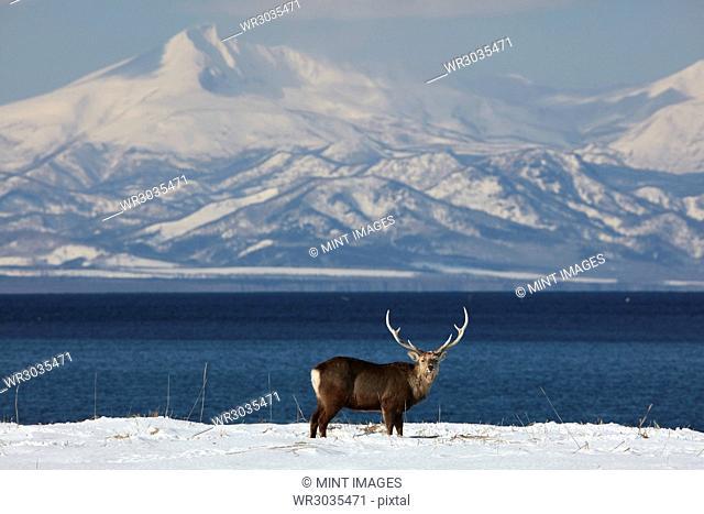 Sika deer, Cervus nipponin, standing by shore of bay in winter