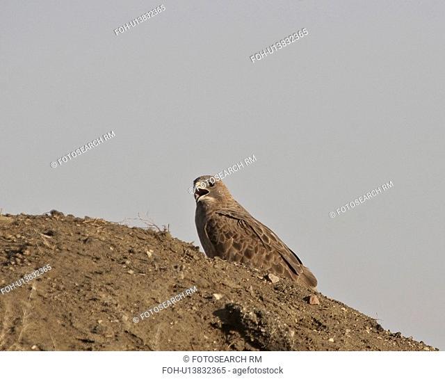 saskatchewan, hawk, scenic, pile, gravel, swainsons