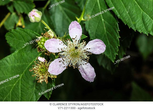 Indian Strawberry Duchesnea indica Spring Flowers