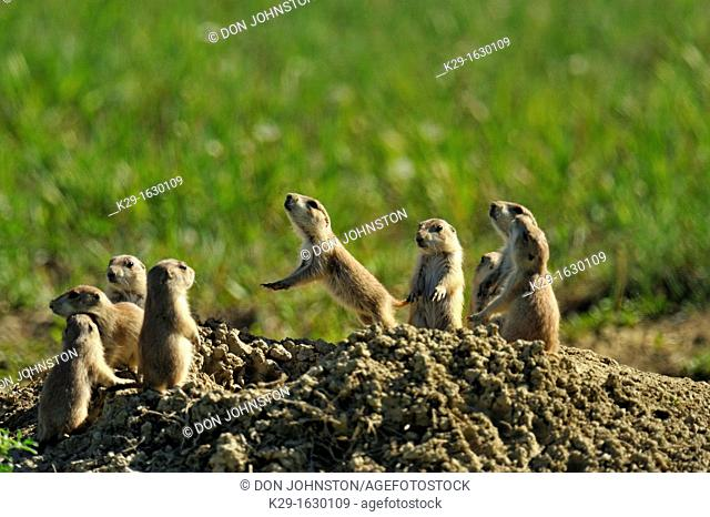 Black tailed prairie dog Cynomys ludovicianus Babies at den entrance