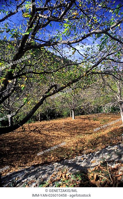 Walnuts trees out of Alonistaina , Vytina, Arcadia, Peloponnese, Greece