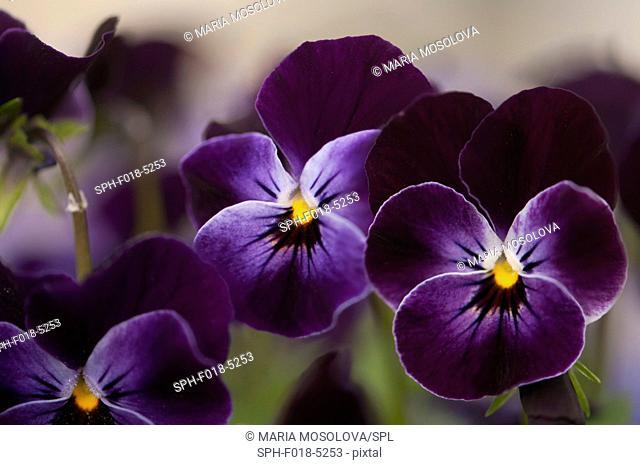 Dark Violet Blue Pansies (Viola cornuta Sorbet XP Delft Blue)