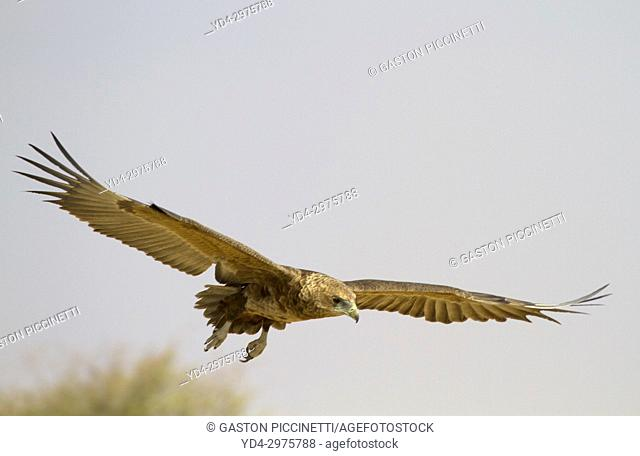 Bateleur (Terathopius ecaudatus) - Inmature, Kgalagadi Transfrontier Park, Kalahari desert, South Africa