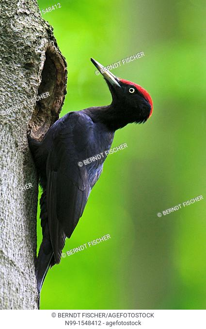 Black woodpecker Dryocopus martius, sitting at the entrance of the cave, Bavaria