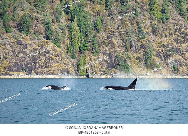 Orcas (Orcinus orca), off the coast, killer whales, Orford River, Vancouver Island, British Columbia, Canada