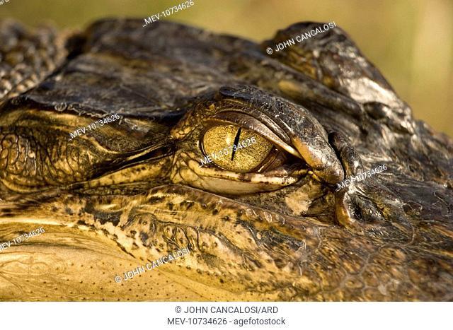American Alligator - Close-up of eye (Alligator mississippiensis)