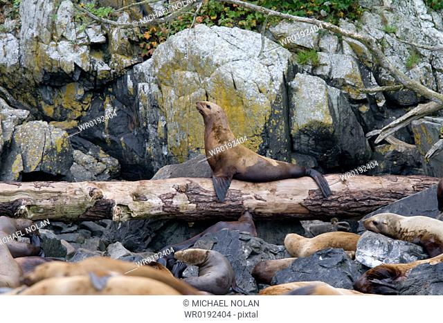 Northern Steller sea lion Eumetopias jubatus colony on sail rock in Frederick Sound, southeastern Alaska This is the second largest of all pinnipeds in North...