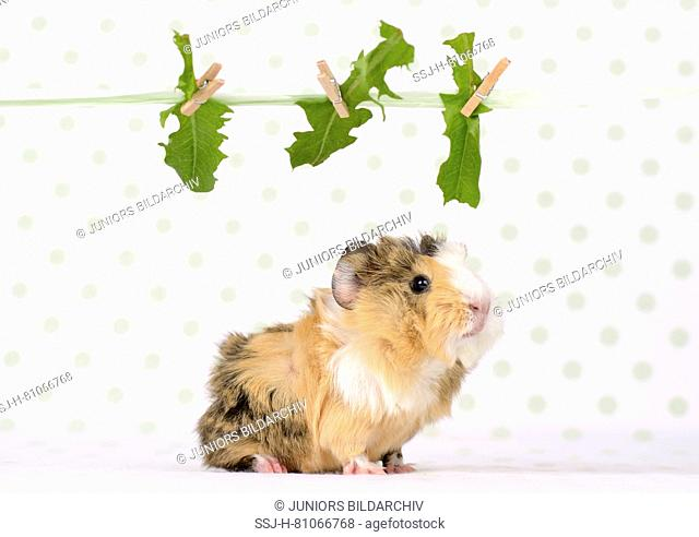 Domestic Guinea Pig. Young (3 weeks old)under a Dandelion leaves hanging on a washing line. Studio picture. Germany