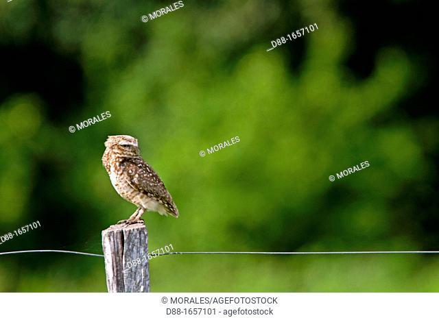 Brazil, Mato Grosso, Pantanal area , Ferruginous Pygmy Owl Glaucidium brasilianum