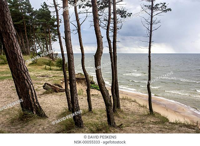 Pine forest near the sea, Lithuania, Klaipeda, Curonian Spit