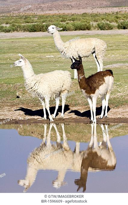 Llamas (Lama glama) reflecting in the water, San Juan, Potosi, Bolivia, South America