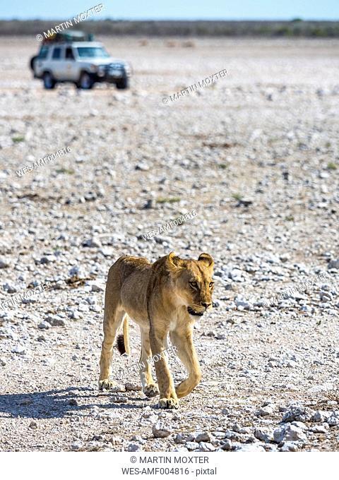 Namibia, Okaukuejo, Etosha National Park, young female lions and jeep