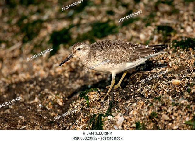 Red Knot (Calidris canutus) foraging on breakwater, The netherlands, Noord-Holland, IJmuiden
