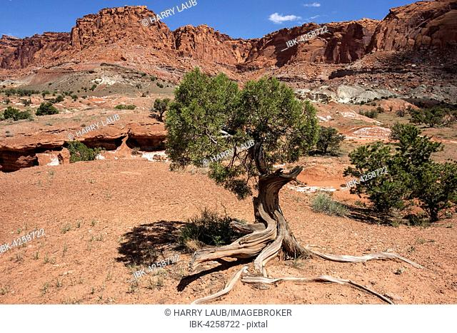 Landscape and rock formations in Capitol Reef National Park, Bristlecone pine (Pinus subsect. Balfourianae) in front, Utah, USA