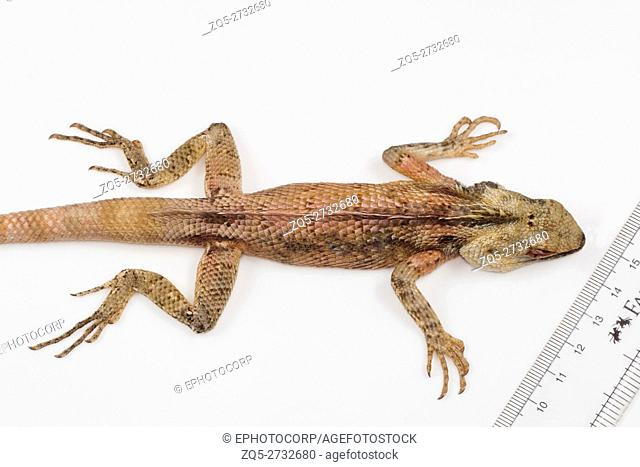 Oriental garden lizard, Calotes versicolor Ponducherry. Agamid lizard found widely distributed in Asia