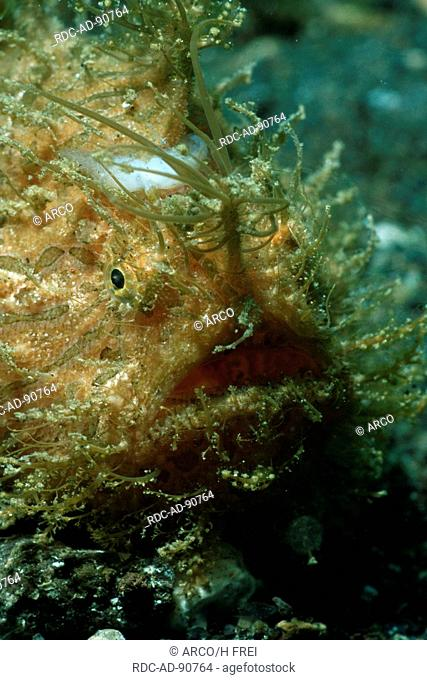 Hairy Frogfish, Lembeh Strait, Indonesia, Antennarius spec