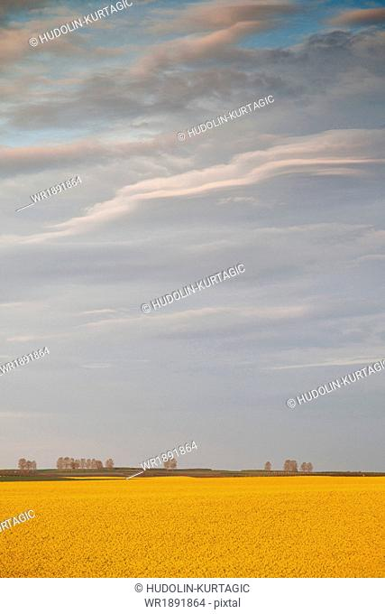 Colza field under cloudy sky, Tuscany, Italy