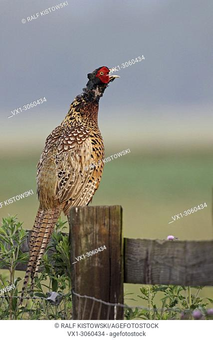 Male Ring-necked Pheasant ( Phasianus colchicus ) perched on a wooden fence calling loudly.