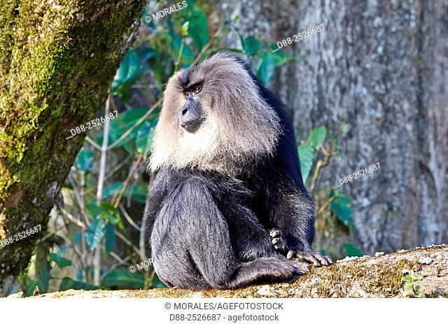 Asia, India, Tamil Nadu, Anaimalai Mountain Range Nilgiri hills, Lion-tailed macaque Macaca silenus, or the Wanderoo, The lion-tailed macaque ranks among the...