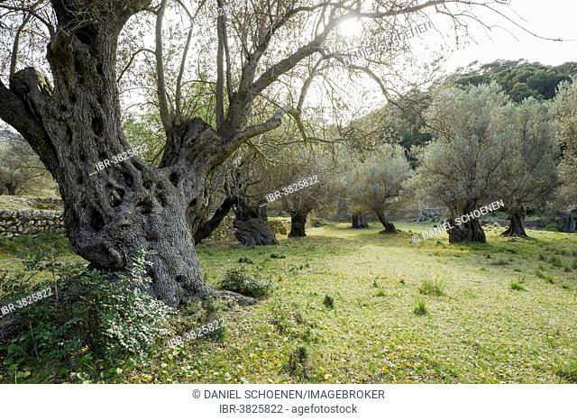 Ancient olive trees, Banyalbufar, Serra de Tramuntana, Majorca, Balearic Islands, Spain