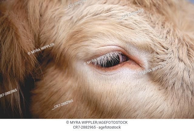 Swedish cow, close up