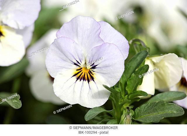 Garden pansy , Viola - Viola x wittrockiana