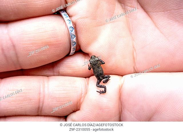 breeding frog in hand