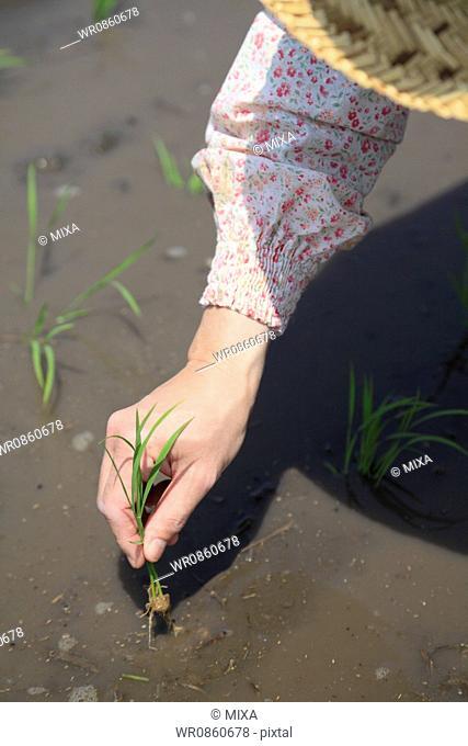 Female Farmer Rice Planting by Hand