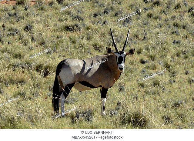 Africa, Namibia, NamibRand Nature Reserve, animals, East African oryx