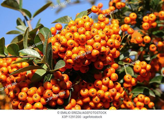 Firethorn Pyracantha sp