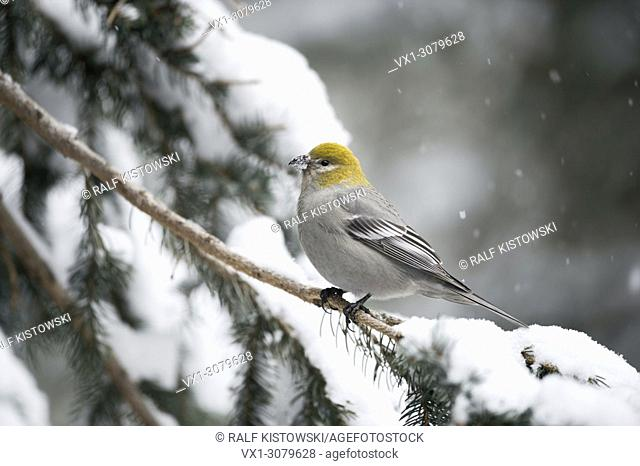 Pine Grosbeak ( Pinicola enucleator ), female adult in winter, perching on a branch of a snow covered conifer, Montana, USA