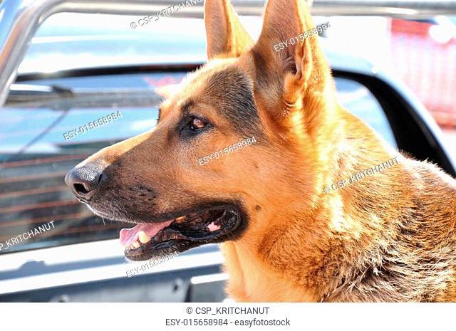 Alsation or German Shepherd dog