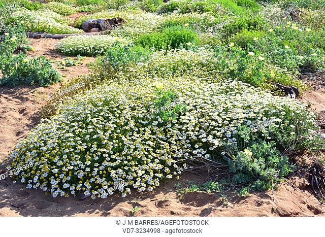 Seaside chamomile (Anthemis maritima) is a perennial herb native to western Mediterranean Basin. This photo was taken in Cala Pilar, Menorca, Balearic Islands