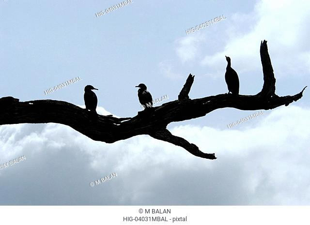 LARGE CORMORANTS ALSO CALLED INDIAN SHAGS PERIYAR TIGER RESERVE THEKKADY