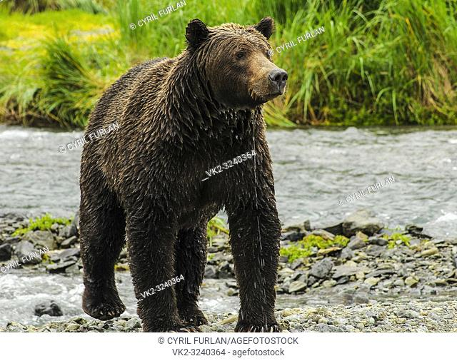 Female Grizzly just emerged from stream, Katmai National Park Alaska