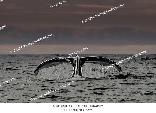 Humpback whale's tail above water surface, Dingle, Kerry, Ireland
