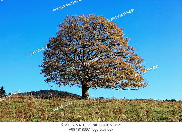 Single Sycamore Maple Tree on meadow at fall, Sumava National Park, Bohemia, Czech Republic, Europe