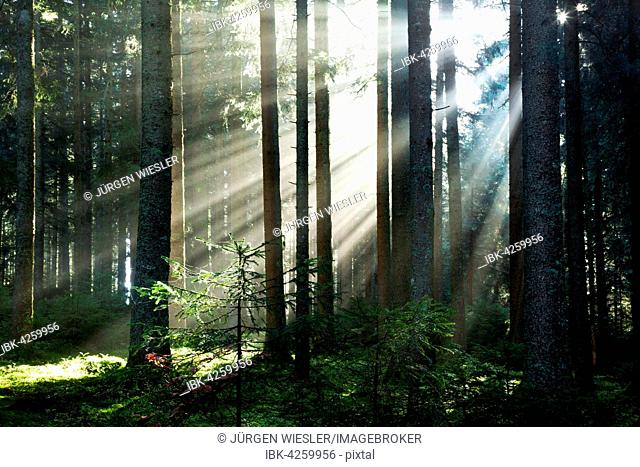Rays of sunlight shining through trees in fog, spruce (Picea sp.) forest, autumn, Hinterzarten, Black Forest, Baden-Württemberg, Germany