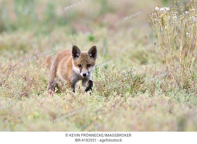 Young red fox (Vulpes vulpes) on brownfield site, stalking, Lausitz, Saxony, Germany
