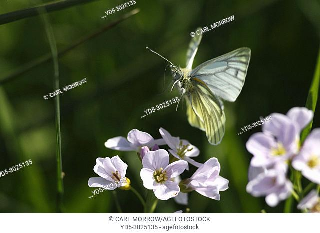 Green-veined White Butterfly in flight, Ireland