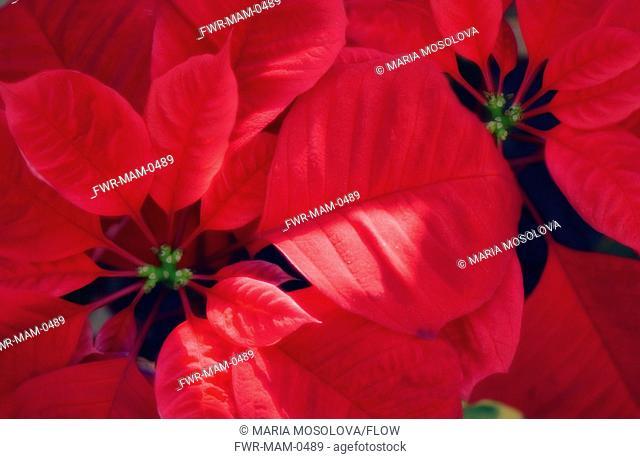 Euphorbia pulcherrima, Poinsettia