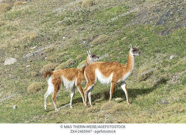 Guanacos (Lama guanicoe), Torres del Paine National Park, Chilean Patagonia, Chile