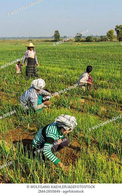 Farmers working in a field planted with onions along the road from Bagan to Mandalay in Myanmar